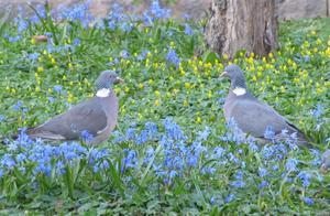Duvblå fåglar och blå blomster en fin kombination