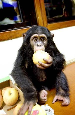 publikfavorit.Schimpansen Selma pustar ut med ett äpple efter en och en halv timme på apberget.