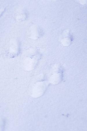 Harens karaktäristiska spårstämplar syns på en skogsbilväg.