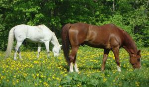 Dessa vackra hästar betade så fridfullt på en äng vid Sparreholms slott.