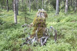 Sten Edvinsson har klätt in en stubbe med mossa som ska föreställa trollmor och hennes elva små barn.