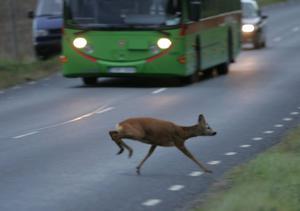 Att köra på ett rådjur är den vanligaste viltolyckan på vägarna.