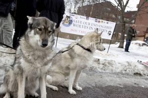Hundarna Spirit och Atasha har varit på många vargmanifestationer.