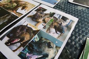 Före och efter-bilder på två skadade gatuhundar som fått hjälp av Michael Baines och hans hjälpcenter i Thailand.