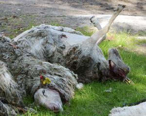 Vargdödade får.