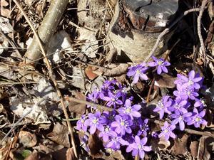 Blåsippan uti backarna står. Våren segrar över hösten!