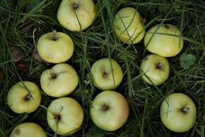 Släng inte fallfrukten i diken. Godsakerna lockar dit hungriga rådjur och risken är då stor att en viltolycka inträffar.