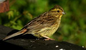 Gulsparv: (Emberi´za citrine´lla) Art i fågelfamiljen fältsparvar. Den blir 16–17 centimeter lång och är brun med mörka streck på ovansida, rödbrun på övergump och gul på huvud och undersida. Honan har endast svagt gul ton och är mer streckad, även undertill. Gulsparv häckar i öppna marker med unggranar och buskar, i åkerbygd och på hyggen i hela Sverige utom fjällen. Arten livnär sig av frön, skott, bär och på sommaren insekter.