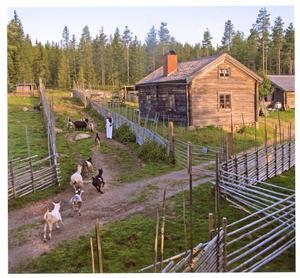 Svedbovallen i Ljusdals kommun den 1 augusti. Getterna har precis släppts ut efter morgonmjölkningen.Juryns omdöme: En fin sommarbild som minner om gamla tider och där gärdsgårdarna och vägarna skapar många spännande linjer i bilden.Foto: Seth Nilsson, Uppsala