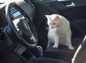 Lisa Ohlins automatlåda ger en mjukare körning. Men katten Lillskiten tycks inte dela mattes faibless för bilkörning och brukar skrika rätt ut under färden.
