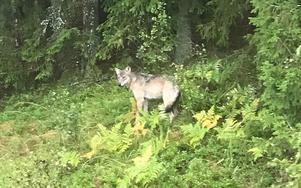 Mia Hellsten fotade en varg utanför sitt köksfönster i Sättra, Riala i början av september.