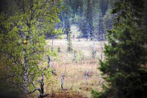 I höst blir det många mil över myrmarker, kalhyggen och i skogen. Foto: Arkiv
