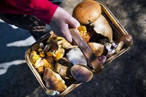 Plocka aldrig svamp i plastpåse, en svampkorg fungerar däremot väldigt bra.Bild: Emil Langvad/TT