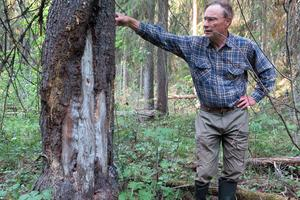 Peter Turander vid en levande gran med isljud som har skador efter fyra islossningar. I detta svämskogsområde finns bland annat orkidén skogsfru. Foto: Bengt Oldhammer