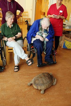 Barbro Svensson, 88 år, (till vänster) och Millred Norrman, 94 år, tar en närmare titt på  den 15 kilo tunge sköldpaddan Richard, 9 år. Sköldpaddor av den här typen kan bli 70–100 år och nå en matchvikt på 100 kilo.
