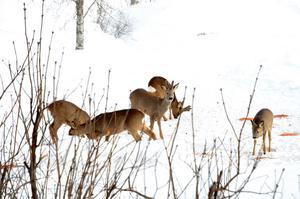 När det drar ihop sig till mattid kommer rådjuren över älven till matbordet, de väntar lugnt i skogen medan det serveras.