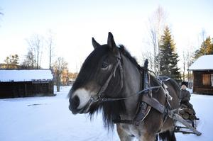 Tilde är en av Jamtlis egna hästar, en nordsvensk. Här kör han ett litet timmerlass med hjälp av Elisabeth Renholm.