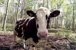 Naturvårdsverket tror på metoden att låta kor beta ängarna vid älven, som ett alternativt sätt att få bukt med myggproblemen. Foto: Lars Nyqvist.