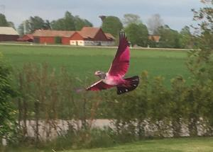Vi såg denna rosa duva på vår tomt i dag lördag 18/5 på Vallgatan i Kolbäck skriver Emelie Nilsson.
