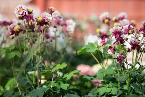 Akleja är en lämplig blomma att sätta ut på våren.
