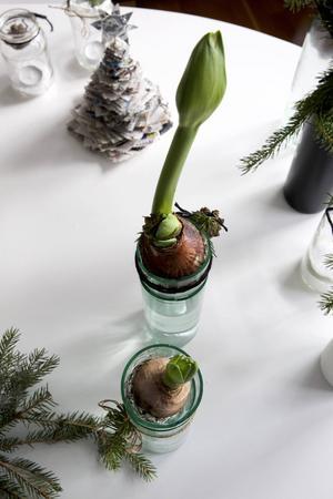 Amaryllis- eller hyacintvaser av vinflaskor.