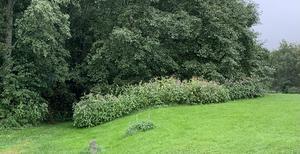 Snart finns bara Kanadensisk gullris och jättebalsamin kvar på den kommunala marken i Borlänge. Foto: Läsarbild