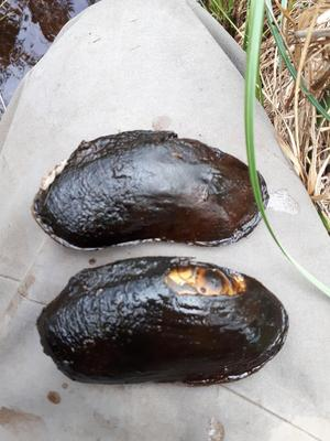 Flodpärlmusslan kan leva över 200 år.