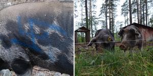 Grisar på Naturskolan i Falun har sprejats med färg. Foto: Kenneth Westerlund