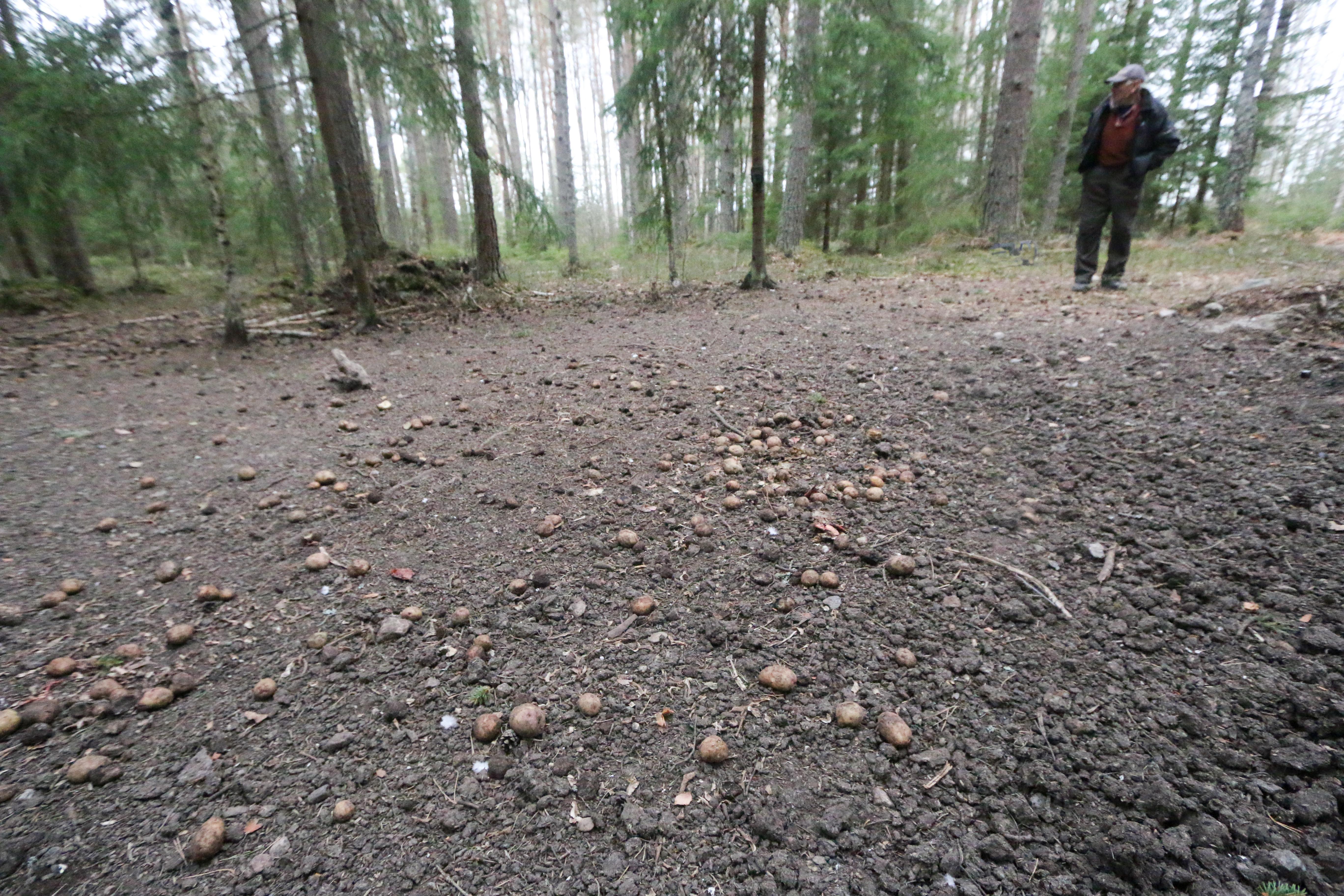 Potatis, som i det här fallet, men även ärter sprids ut vid åtelplatser för att locka vildsvinen till platser där jägarna väntar på pass.