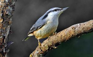 Nötväcka. Den enda av våra Svenska fåglar som kan klättra neråt på en trädstam med huvudet före skriver Bengt Lövgren.