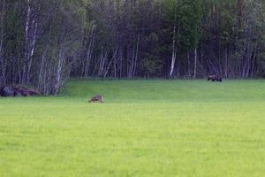 Rådjur och björnen på åkern.