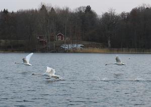 Knölsvanar på Långsjön. Foto: Kerstin Eklund