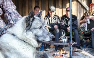 Gråhunden Zakko har jagat sedan han var liten. Han kan springa flera mil under en jaktdag,