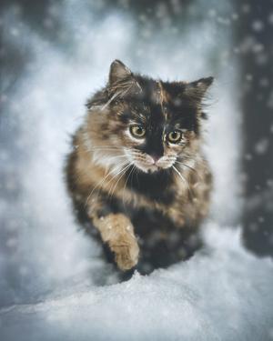 143) Maja föddes utomhus, och i vimlet av kattungar kom hon bort från mamman och låg ensam under en bro. Hon var rätt illa däran och höll nästan inte på att klara sig i kylan. Nu bor hon i Sandarne med två lurviga chihuahuas som blivit hennes bästa vänner. Här är hennes första upptäcktsfärd i snön. Foto: Jonny Birberg