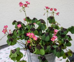 ... och även med röda blommor och gröna blad, en favorit i kruka.