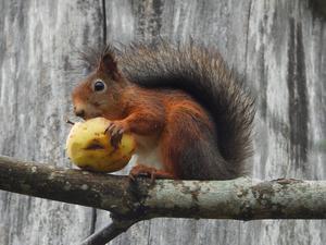 Ett äpple om dagen håller doktorn borta. Foto: Pentti K.