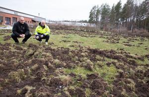 Så här såg det ut efter nyår då  vildsvin massakrerade fotbollsplan och gräsmatta på Tornets område i Arboga. På bilden syns Peter Jönsson och Jocke Alm på Arbogabostäder som har sitt kontor i fastigheten.
