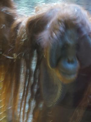 Att fotografera en orangutang som egentligen inte alls vill vara med på bild är inte lätt. Här är Naong precis på väg att vända ryggen till...