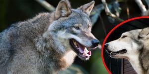Det finns flera hundraser som liknar vargar till utseendet. Djuret till vänster är en varg och djuret till höger är en hund av rasen Saarloos Wolfhond. Rasen skapades på 1930-talet när schäfer korsades med varg. Arkivfoto: Jonas Ekströmer/Björn Larsson Rosvall/TT