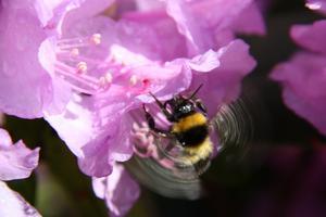 Humlor av många sorter söker gärna upp rhododendrons blommor.