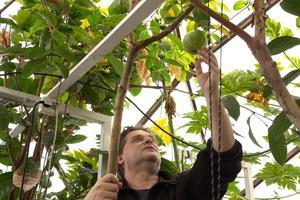 Björn Oliviusson granskar frukterna i växthuset på Berga.