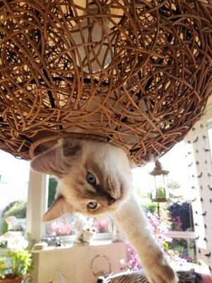102) Vår busiga ragdoll kattunge Coco 3 månader som trivs förträffligt i lampskärmen ute på altanen. Foto: Roger Palm