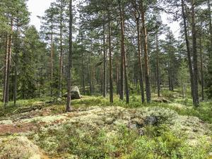 Gles tallskog och hällmarker präglar naturen vid Romberget. (Foto: Carl Lehto)