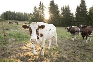 Varje fredag hölls mjölken upp på glasflaskor med Åre mjölk på etiketten. En produkt som sett olika ut och haft flera turer fram och tillbaka i Åre sedan en uppmärksammad mjölkautomat för opastöriserad mjölk installerades 2012 på Ica Åre.