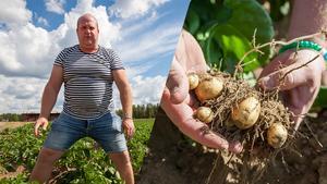 Pärra Jönsson i Byvallen utanför Sveg har inte samma tillväxt på potatisen som normalt.