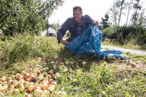 Äpplen är mums för älgar, rådjur och fåglar. Men frukten ska inte ligga nära vägen och locka djuren in i trafiken, säger Anders Wiklund, jägare och ansvarig för Falu viltförvaltning.