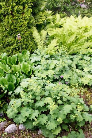 Sommartid växer sig jättedaggkåpor och ormbunkar stora kring den lilla dammen i Lottas trädgård.