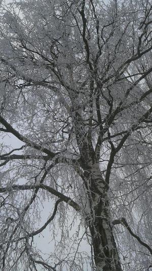 När jag och barnbarnet Nellie gick hem efter skolan en dag så upptäckte vi det här fina trädet, speciellt om man låg i en stor snödriva och tittade upp i himlen. Foto: Lena Westerberg.