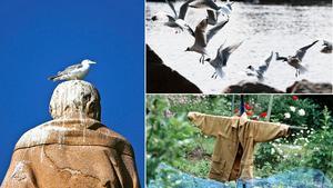Fågelspillning kan fräta hål på tak, fasader, båtskrov och billack.