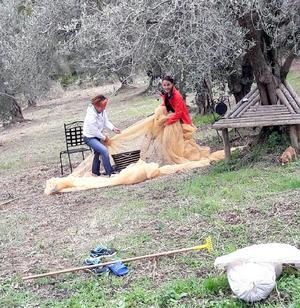 Anita skördar oliver med nät och kratta.